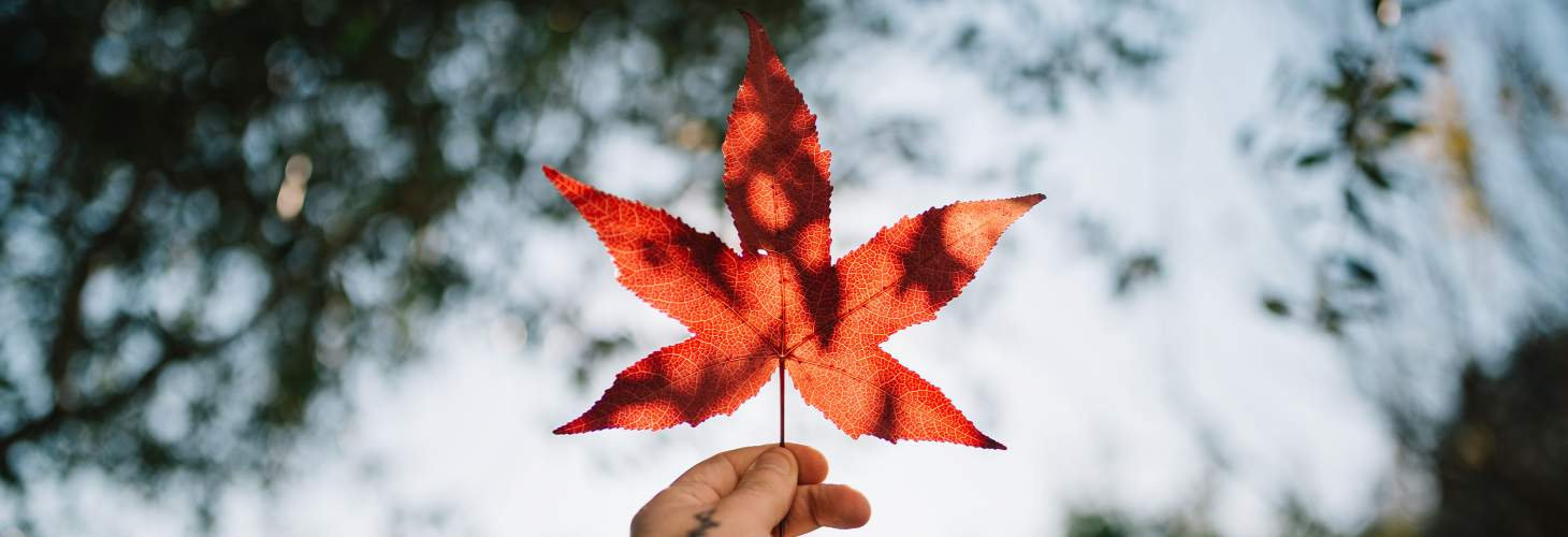 Maple Leaf in held in hand