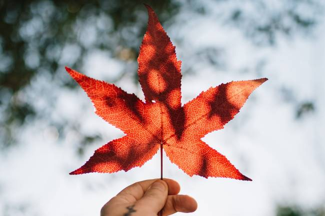 Maple Leaf held up in sky